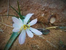 Pustinjski cvijetak (foto TRIS/G. ŠIMAC)