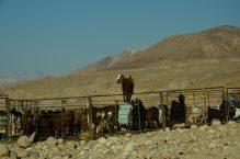 Dugouhe koze u toru (foto J. Gracin)