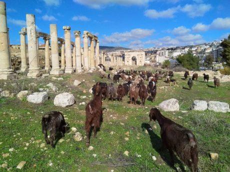 Spoj kulture i tradicije. Dugouhe koze slobodno pasu po arheološkom lokalitetu (foto J. Gracin)