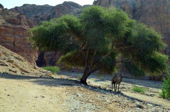Usamljeno stablo i deva pred ulaz u Numeiru (foto J. Gracin)