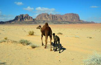 Deva s pomladkom u šetnji Wadi Rumom (foto Joso Gracin)