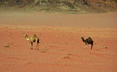 Na pustinjskojm pašnjaku - Wadi Rum (foto Joso Gracin)