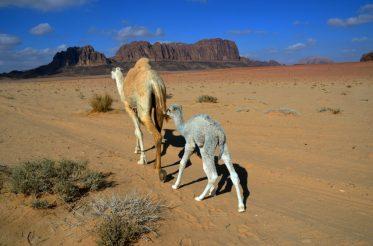 Stara i mlada deva u šetnji pustinjom (foto Joso Gracin).