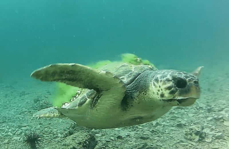 Glavata želva, Izvor: Šibenik Meteo