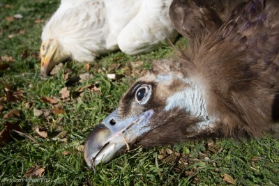 Otrovana ptica U Bugarskoj, foto - Hristo Peshev_FWFF