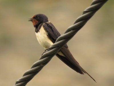 Imamo pticu godine: Leti, leti… lastavica
