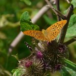 fritillary-butterfly-nature-animal-burdock-wing