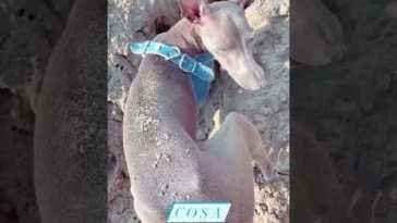 Michelle Hunziker al mare con il suo cagnolino che scava una buca profonda #Shorts