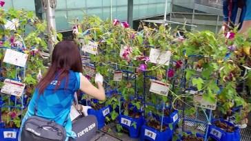 Tokyo 2020, i volontari recuperano le piante coltivate dalle scuole per adornare gli impianti