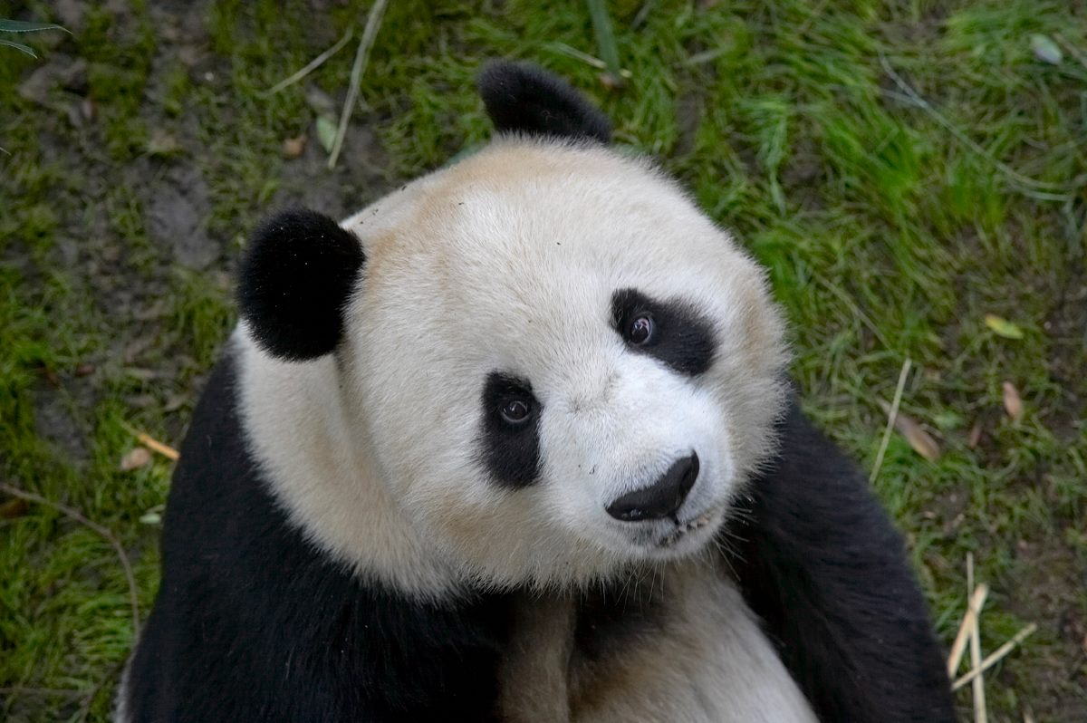 The pandas are soon going back home to China! Celebrate their very last day here in San Diego.