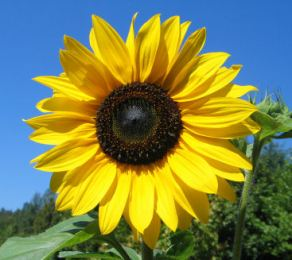 Image result for sunflower