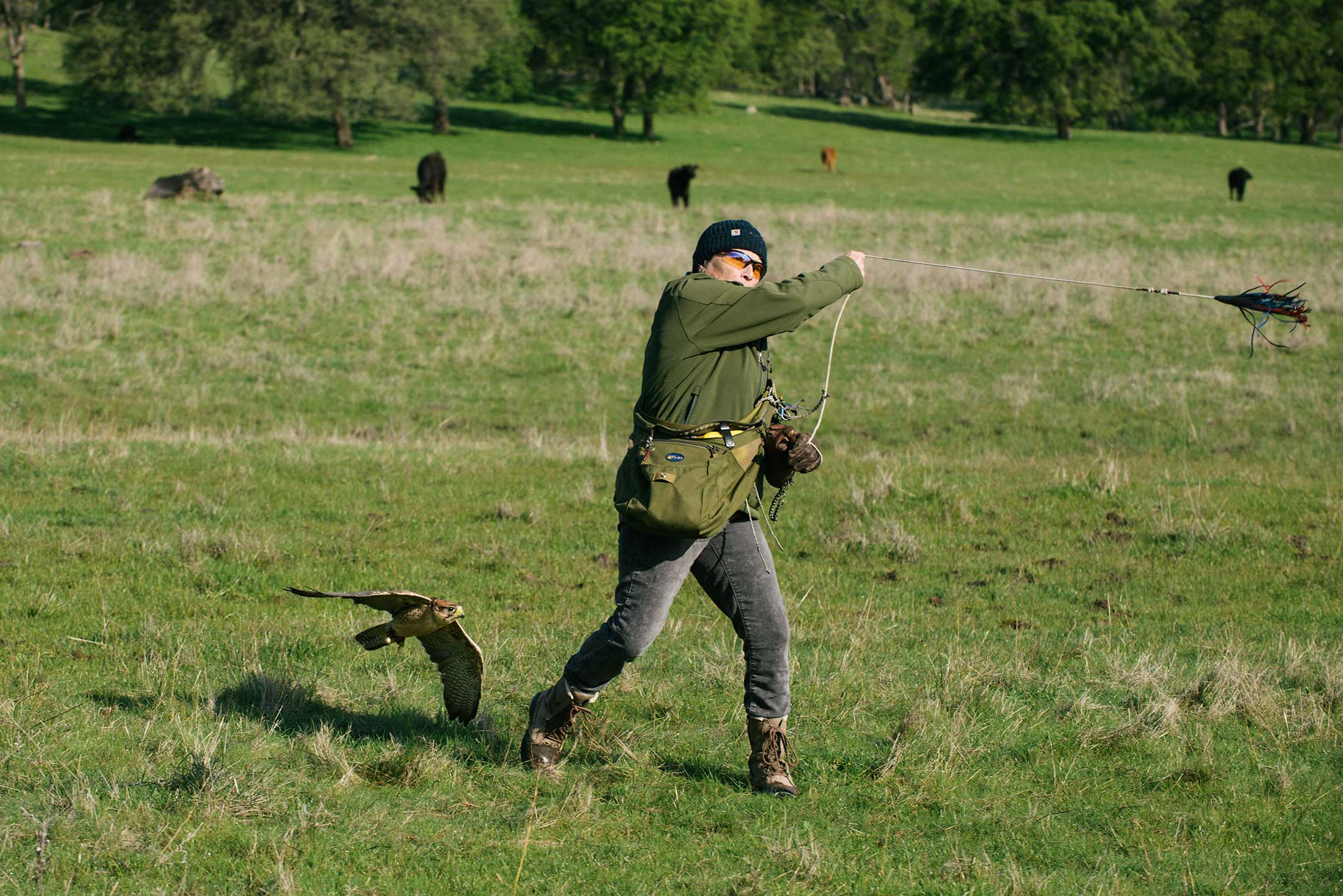 Marden lures stoops lanner falcon Archy during the Triple Raptor Experience class.