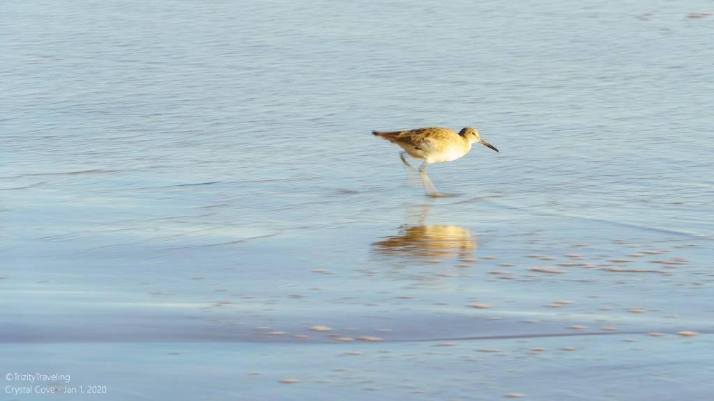 seabird walking through the waves on the beach