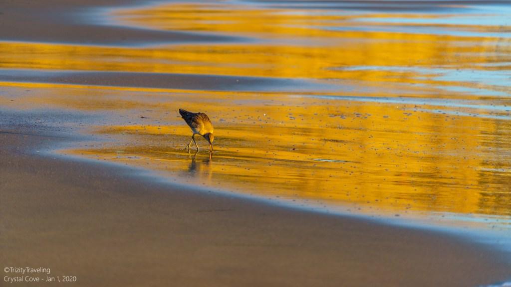 seabird walking in waves at sunset