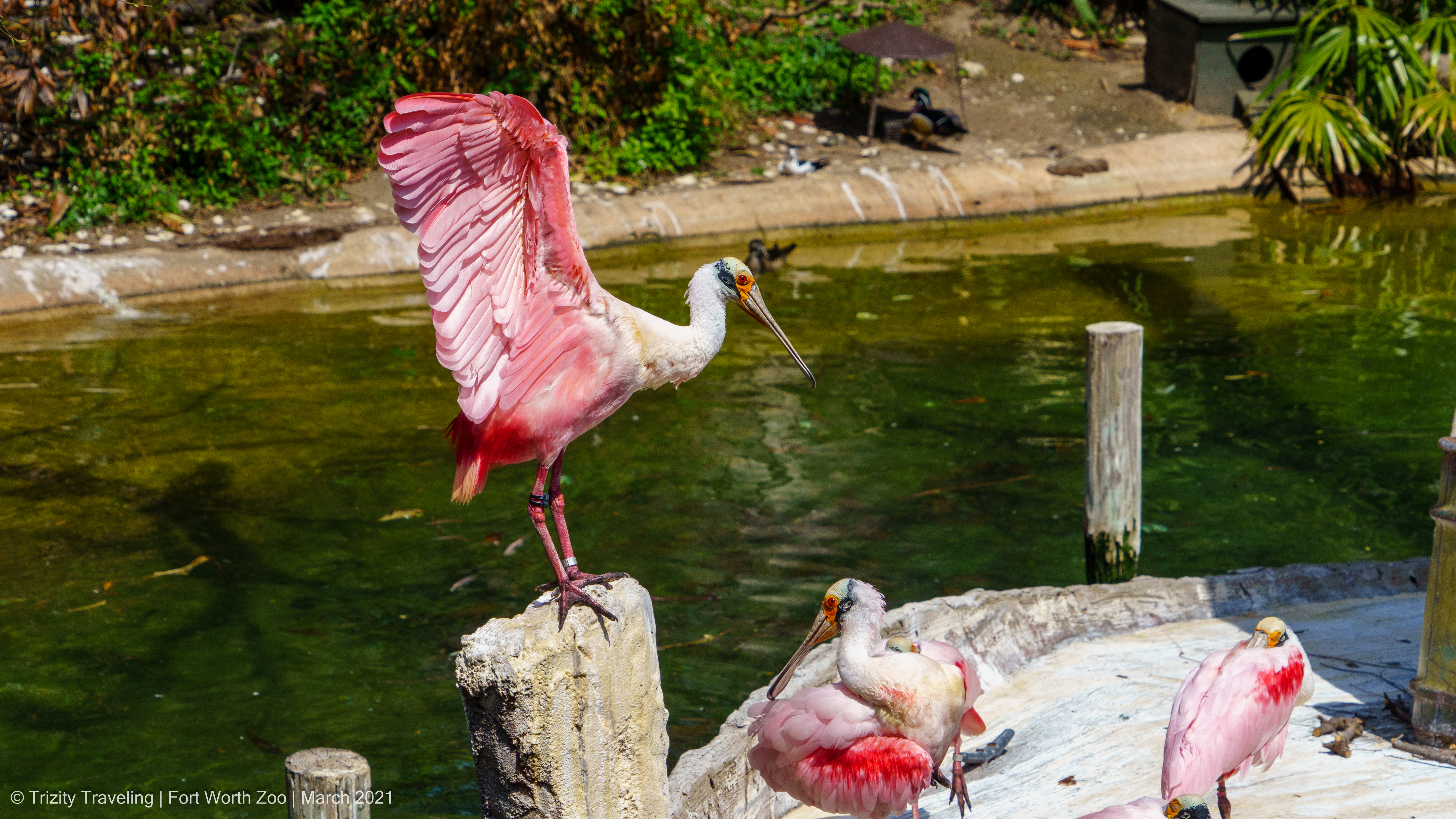 Fort Worth Zoo roseate spoonbill