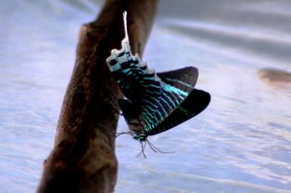 Butterfly of the Trocano area