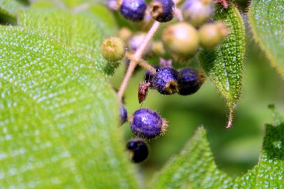 Berries in the Trocano project area