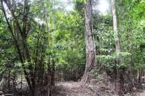 Trocano Araretama Forest 1