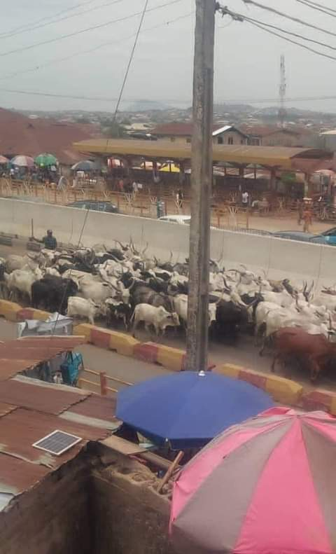 Insecurity: Amotekun Confiscates Another 300 Cows In Ondo
