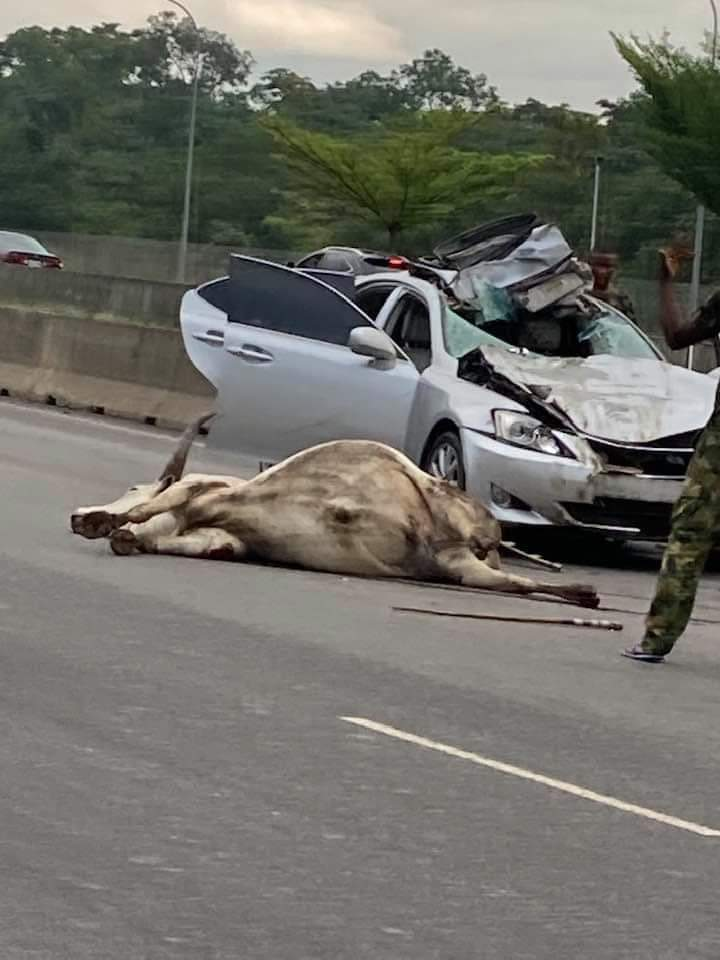Tragic, As Cattle Roaming Nigeria Capital City Freely Cause Accident, Allegedly Claim Senior Citizen's Life