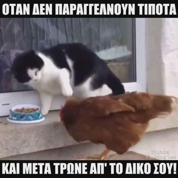 κοτοπουλο εναντιον γατας
