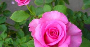 Bệnh rỉ sắt làm hoa hồng bị vàng lá