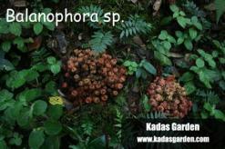 Loài Dương đài-Balanophora sp.