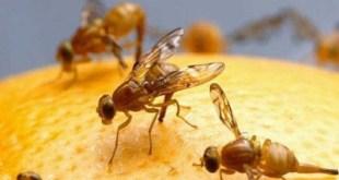 Ruồi vàng gây hại trên trái thanh long