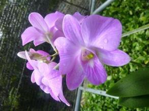 Lan mini Dendrobium