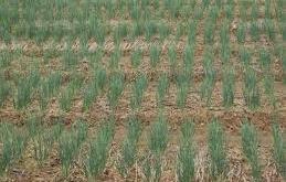 Hành được trồng trên diện tích lớn