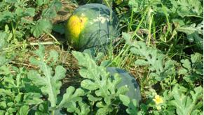 nuôi trái dưa hấu bằng cách hãm đọt