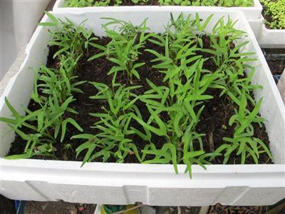 rau muống gieo trồng trong khay sâu của bộ trồng rau ( 7 ngày )
