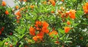 Cây lựu bông với màu đỏ rực, sai bông rất thích hợp để trồng làm cảnh