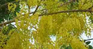 Hoa cây Bò cạp nước