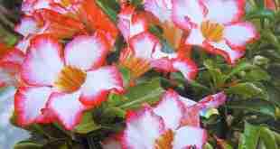 hoa Sứ một lớp cánh