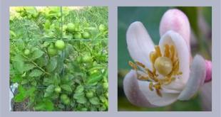 Hoa và trái chanh bông tím
