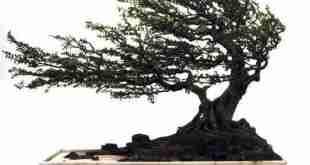 bonsai dáng gió lùa
