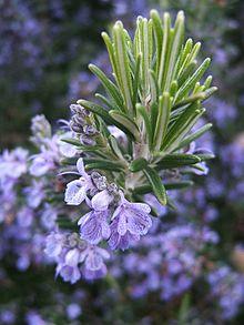 Ngọn & hoa cây Hương thảo là nơi chứa rất nhiều tinh dầu và tỏa ra hương thơm của cây