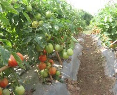 trồng rau bằng màng phủ nông nghiệp