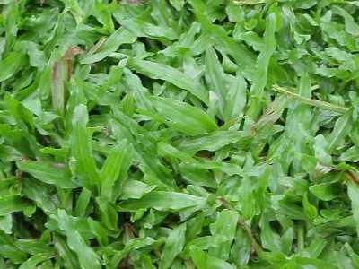 Các loại cỏ làm nền trang trí sân vườn