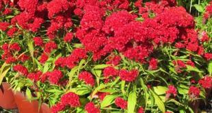 Hướng dẫn cách trồng hoa mào gà