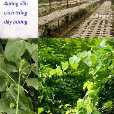 Hướng dẫn cách trồng dây hương