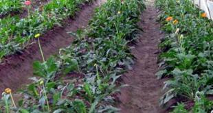 Hướng dẫn cách trồng hoa đồng tiền
