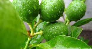 Để cây chanh ra trái nghịch mùa