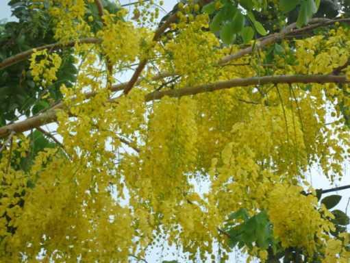 Mùa hoa Muồng hoàng yến