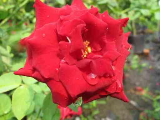 Các phương pháp nhân giống hoa hồng