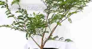 Hướng dẫn cách trồng cây me Thái