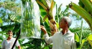 trồng cây chuối cấy mô