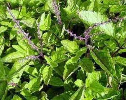 Tác dụng chữa bệnh của cây hương nhu