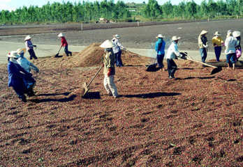 Sản xuất phân vi sinh từ vỏ hạt cà phê tại huyện Di Linh